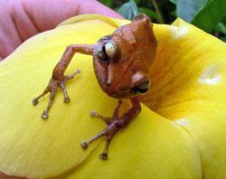 puerto-rico-rain-forest-frog